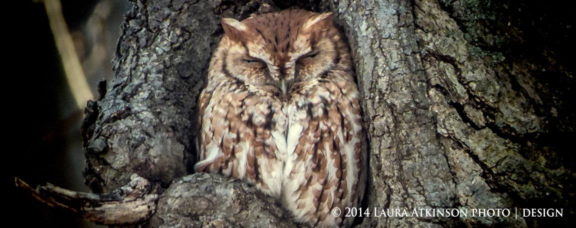 dreaming owl